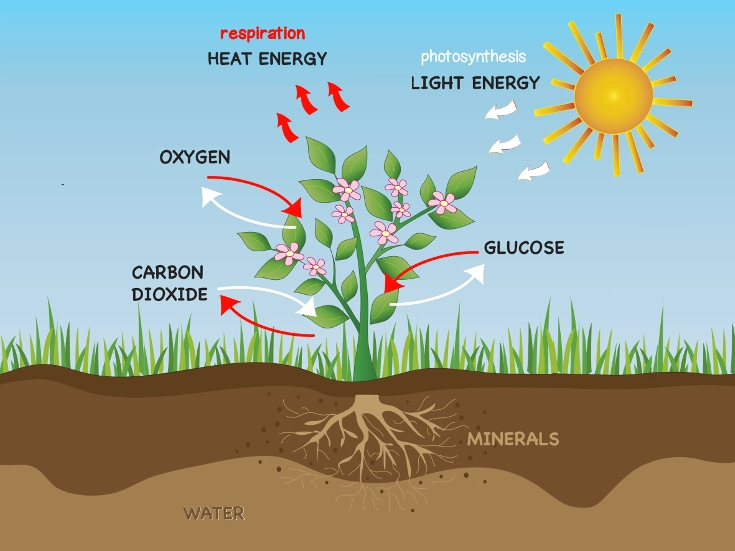 Photosynthesis & Cellular respiration in Plants